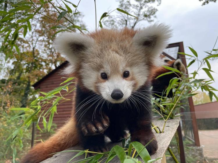 4 hónapos lett a Nyíregyházi Állatpark kis panda kölyke - Annyira cuki